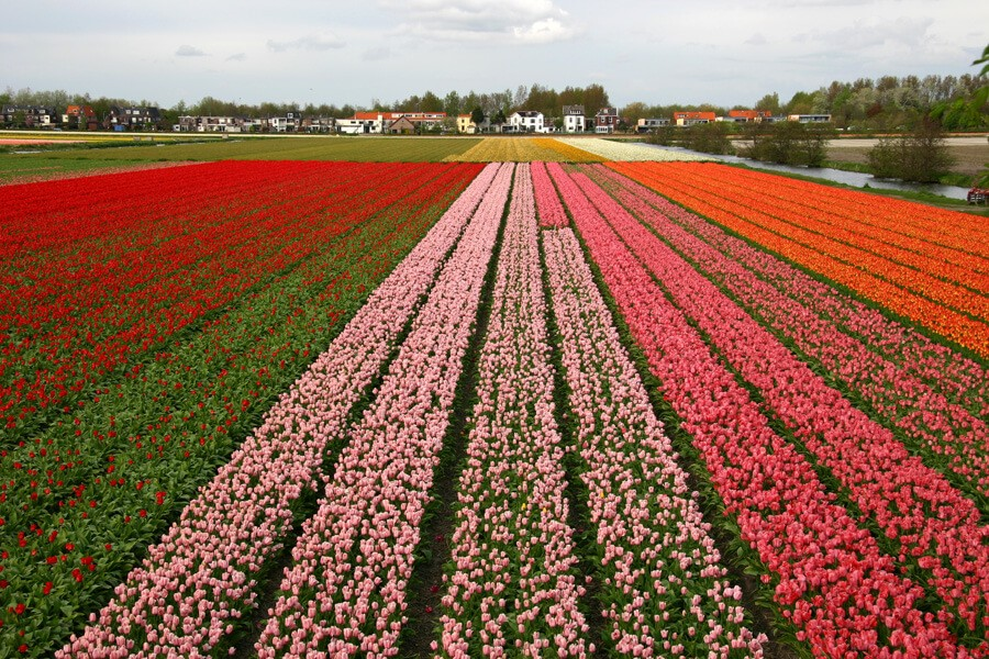 Tulips on the field in Holland