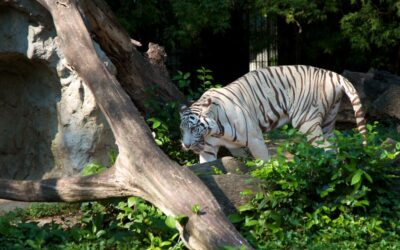White Usurian Tiger in the Dusit Zoo in Bangkok