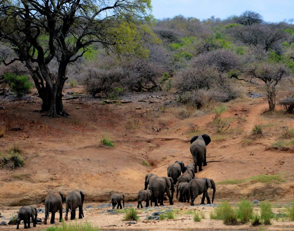 South African safari, elephants
