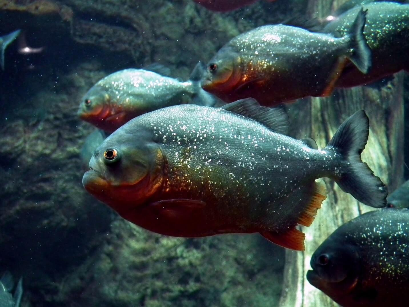 grey piranha fish in the aquarium