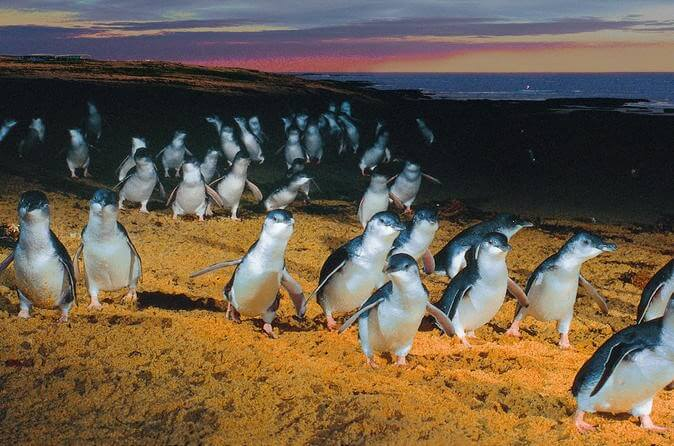 Penguins on the Philips island in Australia