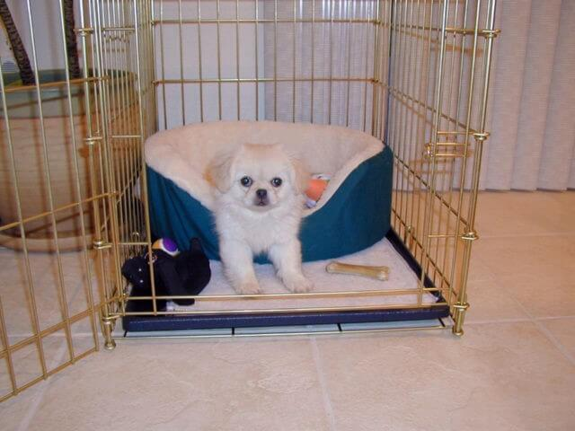 small white puppy in its crate