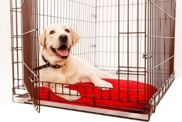 White dog laying in its crate