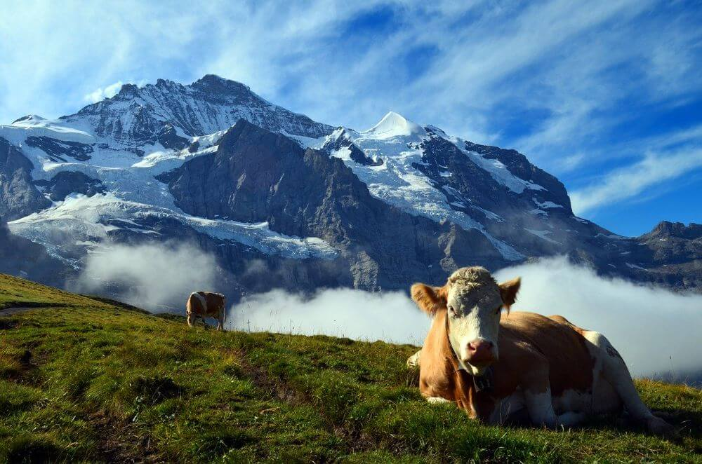 Grindenwald alps, cow in the mountains, Switzerland itinerary