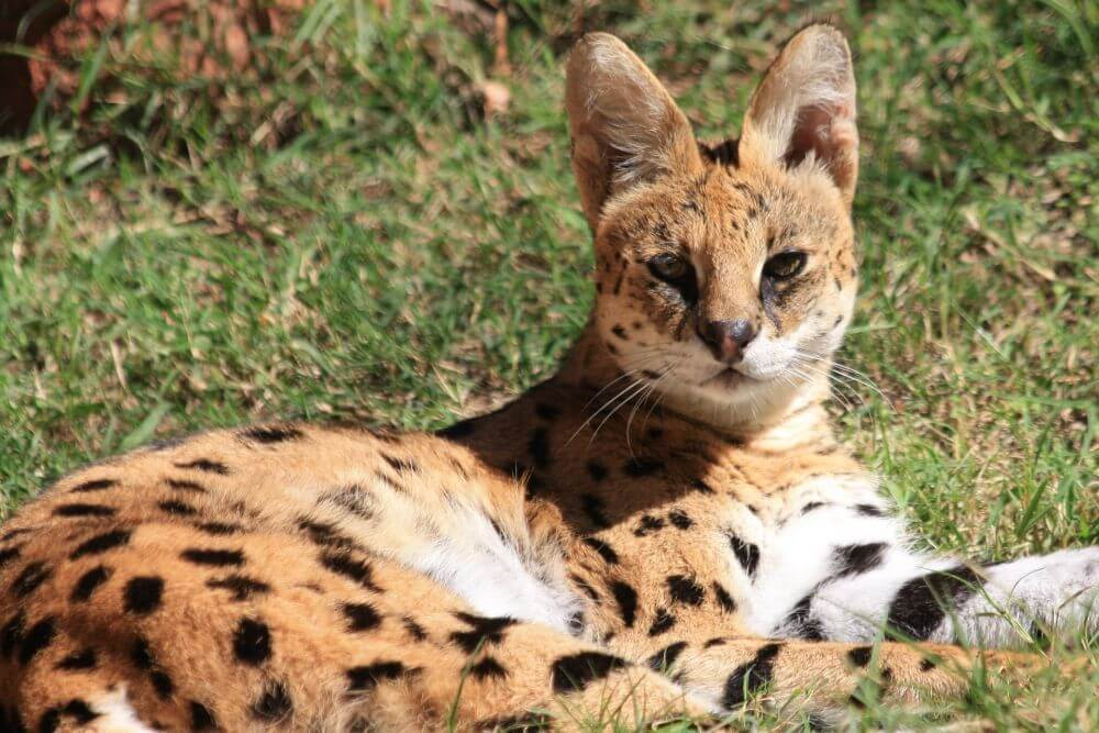 African serval, wild cat on the ground