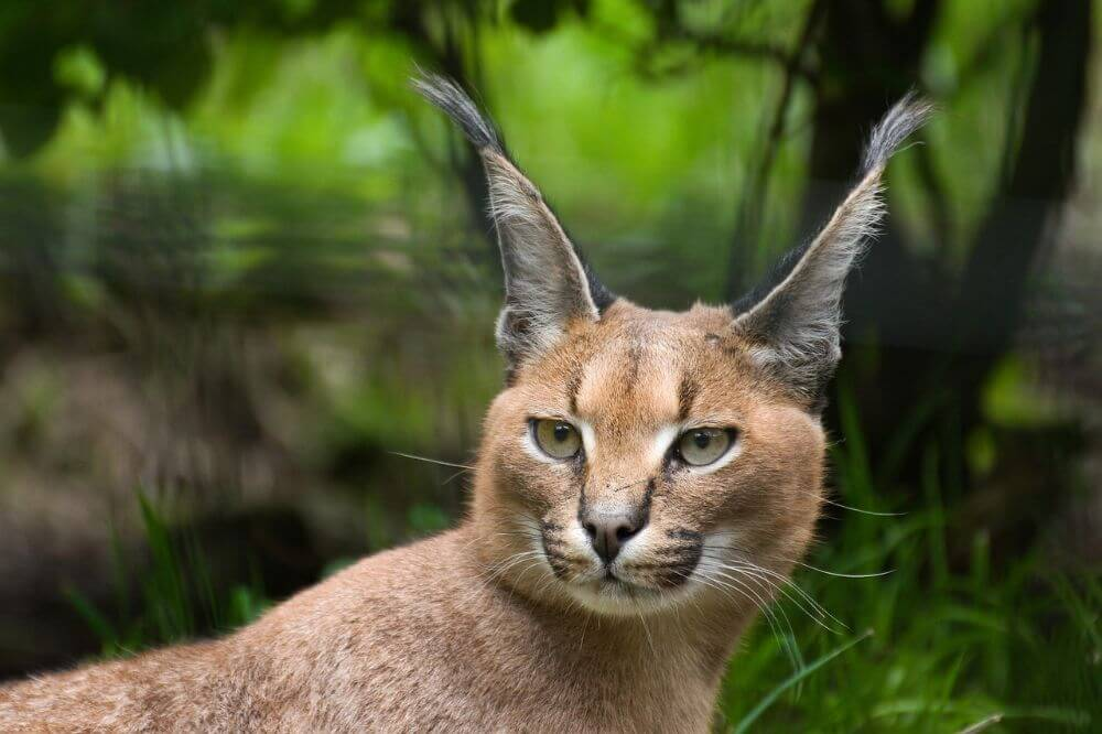 Caracal, african lynx in the wilderness