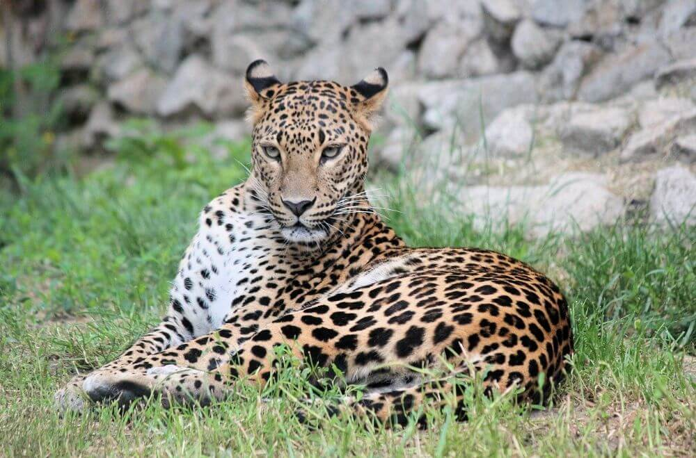 Leopard laying on the ground
