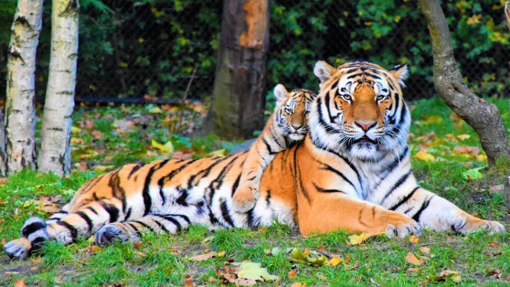 Tiger laying in the grass in the wild