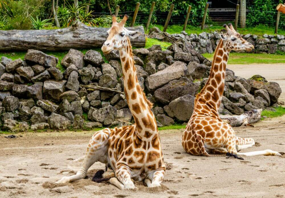 Giraffes in Auckland zoo